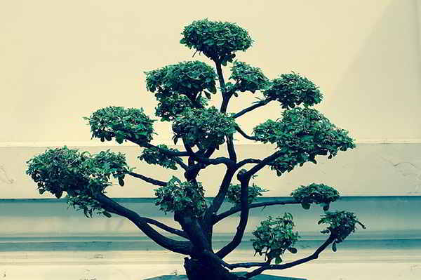 bonsai cura per tutti