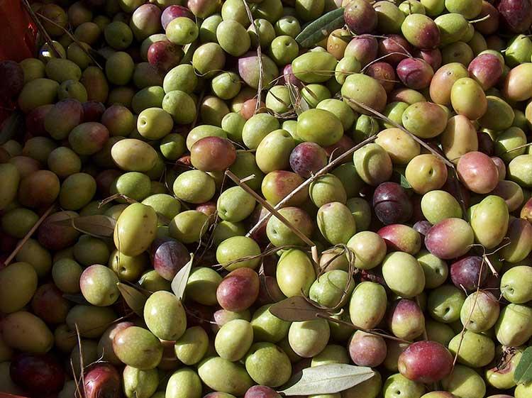 Olio di oliva Oliovivo